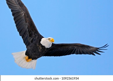 Close up of American Bald Eagle in flight on blue sky.