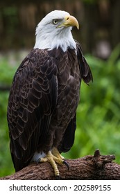 close up of an american bald eagle perched on a  branch