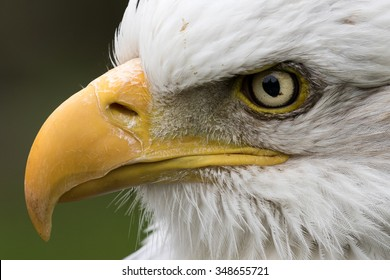 Close up of an American Bald Headed Eagle