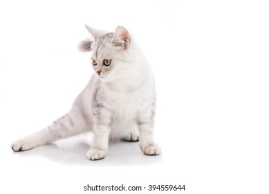 Close up of american shorthair cat sit and looking for something on the white background isolated.
