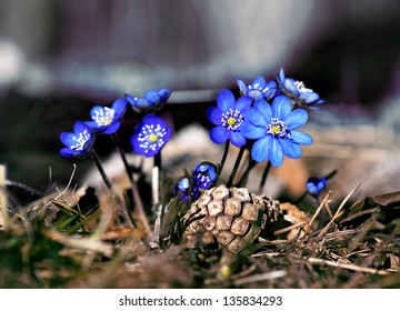 Close up of anemone hepatica in early spring