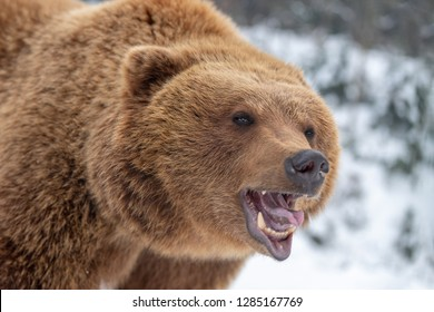 Close up angry brown bear portrait
