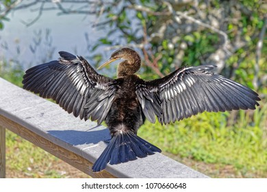 Close up of an Anhinga (Anhinga anhinga drying his wings in the Florida Everglades
