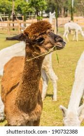 Close up of animal in farm, Brown Alpaca