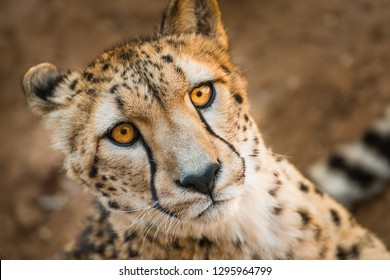 Close up animal portrait of Cheetah, African big cat, relaxing after having meal