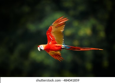 Close up Ara macao, Scarlet Macaw, red colorful, big amazonian  parrot in flight, outstretched wings, long red tail against dark green forest. Manu National Park, Peru, Amazon basin.