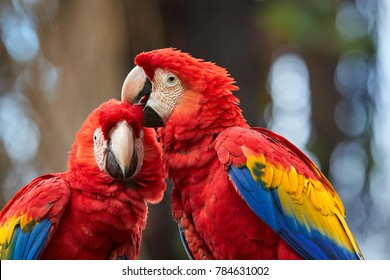 Close up Ara macao, Scarlet Macaw, portrait of two red,colorful, big amazonian parrots. Pair of coupling ara macao, showing affection. Wild animal, Costa Rica, Central America.