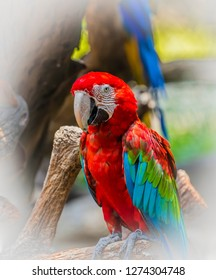 Close up Ara parrots ,Scarlet Macaw and Red and Blue macaw, portrait of red and green perched on  the branch