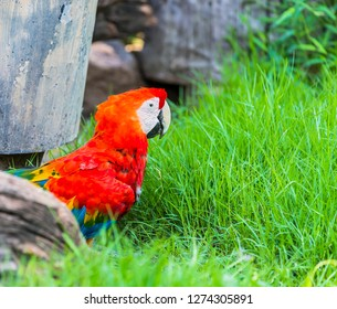 Close up Ara parrots ,Scarlet Macaw and Great green macaw, portrait of red and green perched on  grass