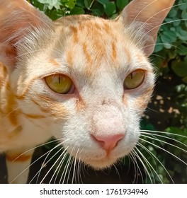 Close up of Arabian Mau Cat.Portrait of the cat, Arabian Mau breed.Paw visible from front view standing.With Selective Focus on the Subject.