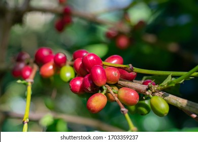 Close up arabica coffee berries on tree. red ripening arabican beans in coffee Garden.