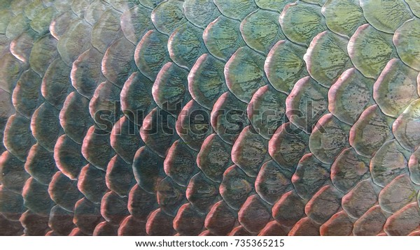 close up of Arapaima fish skin or Arapaima gigas in south america. fish skin for backgrounds.