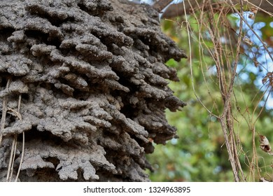 Close up of an arboreal termite nest in a Cashew tree in the Rupununi Savannah of Guyana