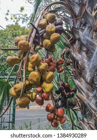 Close up Areca catechu or betel nut is colorful in the garden.common names including the areca palm, areca nut palm, betel palm, Indian nut