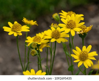Close up of Arnica Montana flower in the dolomites. Shallow depth of field