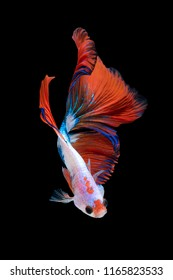 Close up art movement of Betta fish or Siamese fighting fish isolated on black background.Fine art design concept.