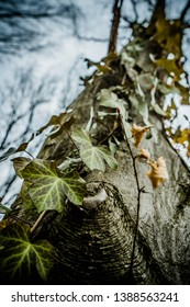Close up art picture of common ivy climbing up on the old majesty hornbeam tree in wild forest