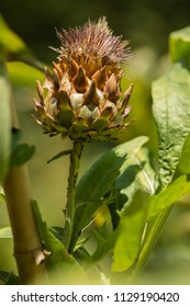 Close up of Artichoke flower on cultivated plant field.