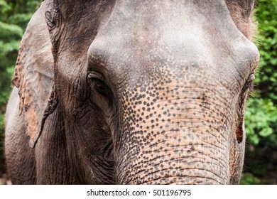 Close up of  Asian elephant