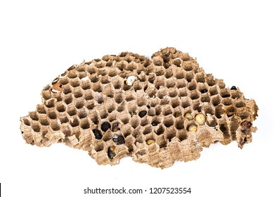 Close up of asian hornet wasp nest honeycombed insect macro with larva larvae alive and dead on white background. Poisonous venom animal colony. Concept of danger in nature