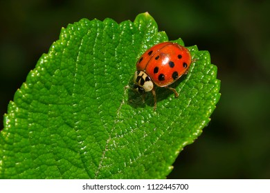 Close up of a Asian Ladybeetle resting on a leaf. Also known as rhe Harlequin Ladybird Beetle. Todmorden Mills, Toronto, Ontario, Canada.