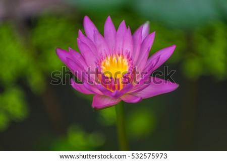Close Asian Lotus Flower Water Stock Photo Edit Now 532575973