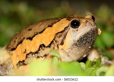 Close up of The Asian Painted Frog