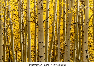 Close up of aspen tree trunks in aspen forest with changing yellow leaves in early morning sunlight