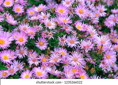Close up of aster flowers in vibrant lavender and purple