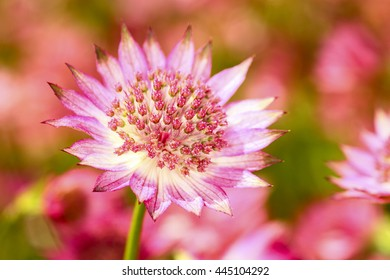 Close up of an astrantia flower
