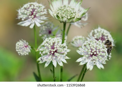 Close up of astrantia flowers