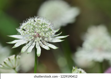 Close up of astrantia flowers