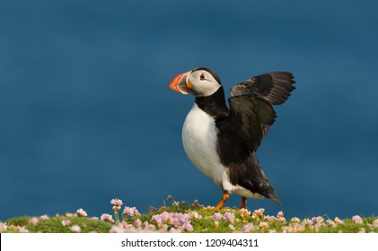 Close up of Atlantic puffin with wings up, Scotland, UK