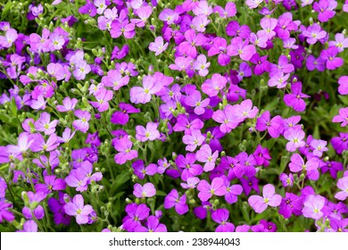 Close up of Aubrieta flowers in a garden, spring, Saarland / Germany
