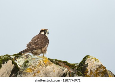 Close up of an Augur buzzard sitting on the rocks against blue sky, Bale mountains, Ethiopia.