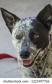 Close up of Australian Cattle Dog Cross looking slightly away from the camera