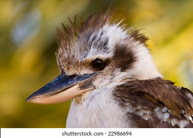 A close up of an Australian laughing Kookaburra