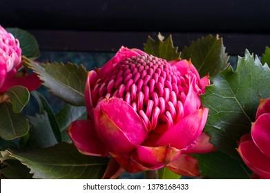 Close up of Australian native flower red waratah, telopea