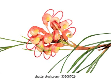 Close up of an Australian native grevillea flower isolated on a white background