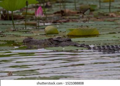 Close up of Australian Saltwater crocodile (Crocodylus porosus) amongst pink lotus lilies Corroboree Billabong Darwin Northern Territory Australia