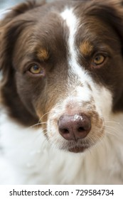 A close up of an Australian Shepherd with wet snow on the tip of his nose.