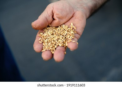 close up of authentic farmers hand with grains of wheat