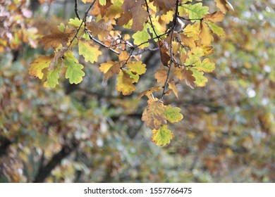 close up of autumn oak leaves with blurred woodland background
