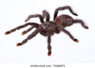 Close up of avicularia spider on white background isolated, a lot of copyspace available, macrophtography