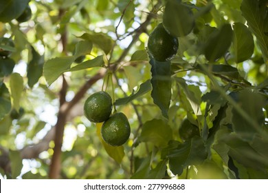 Close up of Avocados growing on tree.