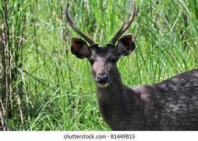 Close up of Axis Deer (axis axis) found in CHITWAN NATIONAL PARK, SAURAHA, NEPAL