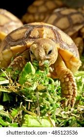 Tortoise Eating Images, Stock Photos & Vectors   Shutterstock