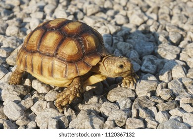 Close up Baby African spurred tortoise resting in the garden, Slow life ,Africa spurred tortoise sunbathe on ground with his protective shell ,Beautiful Tortoise ,Geoche