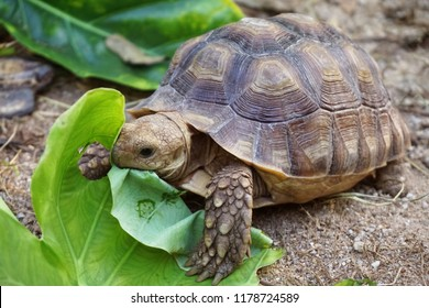 Close up Baby African spurred tortoise resting in the garden, Slow life ,Africa spurred tortoise sunbathe on ground with his protective shell ,Beautiful Tortoise ,Geochelone sulcata