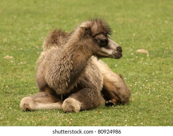 Close up of a baby Bactrian Camel
